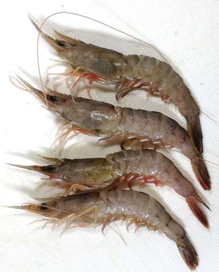 自分だけの魚図鑑: サルエビ